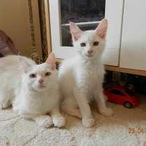 Котята Мейн-Кун, в г.Лобня