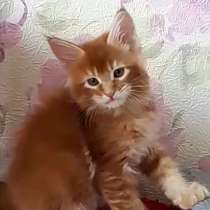 Large red Maine coon, в г.Cascina