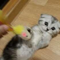Британские котята серебристые, в г.Екатеринбург