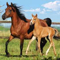 Куплю Лошадей жеребят живым весом в беларуси, в г.Гомель