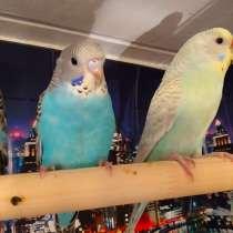 Волнистые попугаи -от Заводчика, в Мытищи