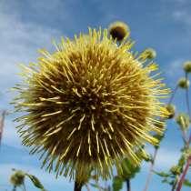 Альфредия - уникальное целебное растение. Семена с доставкой, в Томске