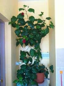 Продам розу, в Ханты-Мансийске