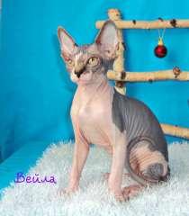 Продам котёнка девочку порода Канадский сфинкс, в Новосибирске