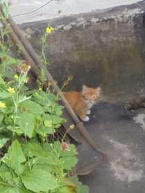 Дарю двух рыжих котят - приносят счастье!. (мальчики), в Липецке