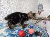 Котята с отличной родословной, в Омске