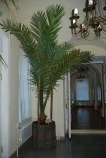 пальма финиковая, в г.Минусинск