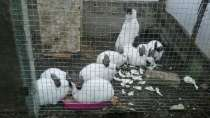 Кролики калифорнийцы, в г.Кисловодск