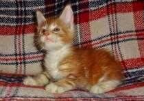 Котята мейн куна - красный мрамор, в Новосибирске