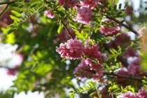 Саженцы розовой акации, в г.Тихорецк