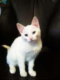 Котёнок (белая гладкошёрстная кошечка), в г.Минск