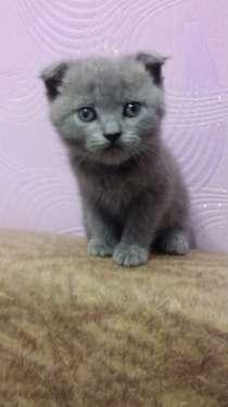 Шотландские котята, в Балаково