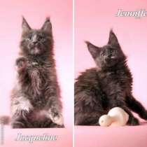 Мейн кун котята от большого международно, в Красноярске