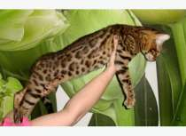 Элитные бенгальские котята, в Уфе