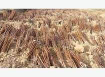 Подвой груши, сеянцы уссурийской груши, в Бийске