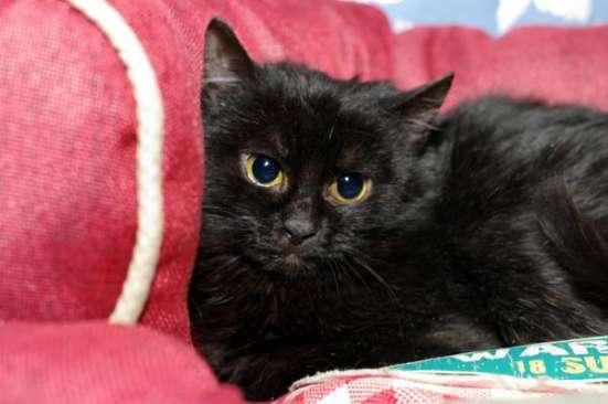Черная восточная ночь - котенок Суламифь в дар. в Москве Фото 1