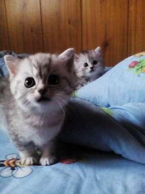 Котята скоттиш страйт и хайленд страйт