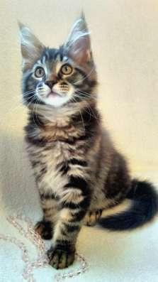 Котята мейн кун ждут