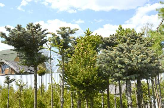 Хвойные растения в Москве Фото 1