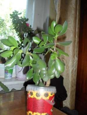 Комнатный цветок - живое дерево в Томске Фото 2