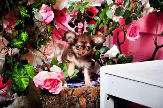 Красивые щеночки породы Чихуахуа! в Кирове Фото 3