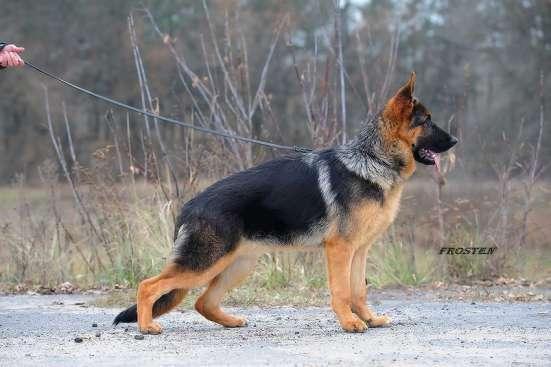 Продаётся подрощенный щенок немецкой овчарки с родословной