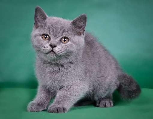 Британский котенок от Чемпиона мира