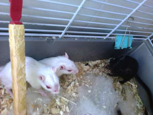 Мышки-песчаночки