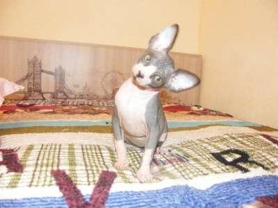 Котята канадского сфонкса из питомника