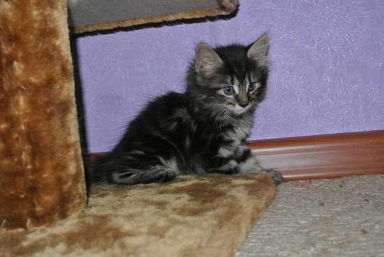 Котята с отличной родословной в Иркутске Фото 3
