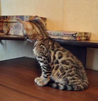 Милый леопардик породы Бенгальская для Вас