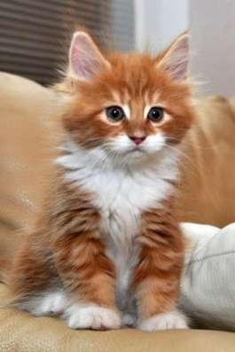 Нужен такой рыжий котенок знающий лоток и ласковый ручной