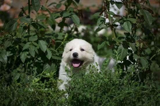 Щенки Пиренейской горной собаки в Белгороде Фото 1