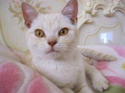 Котёнок шотландец крем - мрамор 3.5 мес