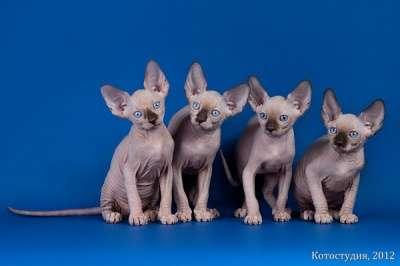 Элитные котята канадского сфинкса в Санкт-Петербурге Фото 1