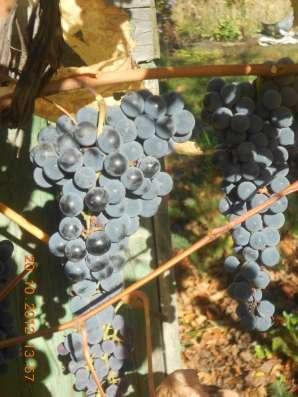 Виноград с куста