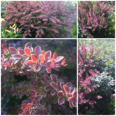Продаю многолетние растения в Саратове Фото 3