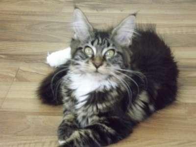 Мейн-кун котята в г. Аксай Фото 3
