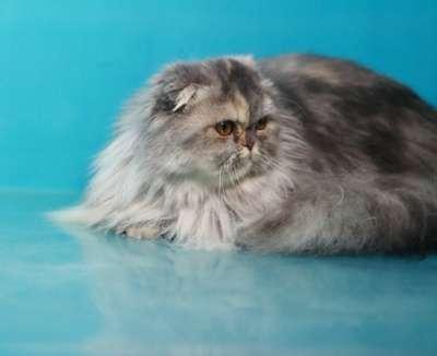 Кошечка - хайленд фолд в Хабаровске Фото 2