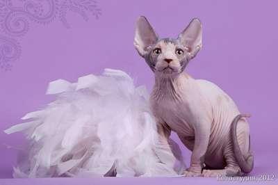 Котята канадского сфинкса. в Ярославле Фото 1