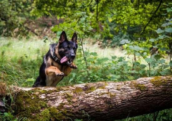 Присмотрим за шей собакой, во время вашего отсутствия. в г. Брест Фото 4