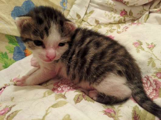 Котенок пятнисто полосатого окраса