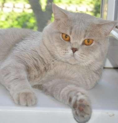 Британский кот - вязка