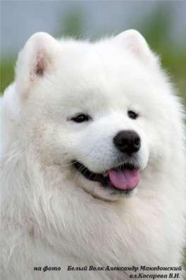 Самоед щенки