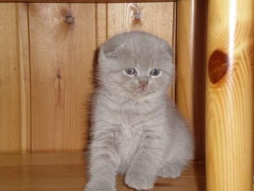 Вислоухие котята в Санкт-Петербурге Фото 2