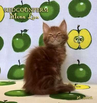 Котенок мейн кун красный солид. Шоу класс