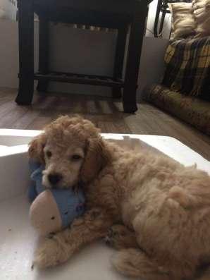 Продам щенков пуделя карликового, рождения 09.08.2016г