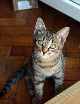 Жизнерадостная котенок Анфиса яркая тигра в дар.
