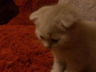 Шотландские котята в Твери Фото 2