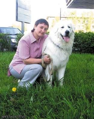 Продаются щенки пиренейский горной собаки в Санкт-Петербурге Фото 2